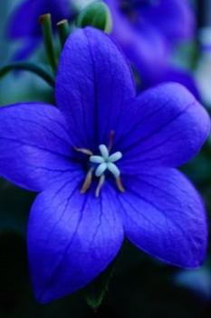 añil kwiat
